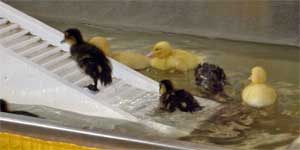 Ducklings scoot up the ramp and then slide down the other side.