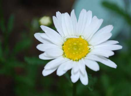 This daisy, which opened its petals yesterday, was a result of my Darwinian Gardening. But I'll save that story for another day. 